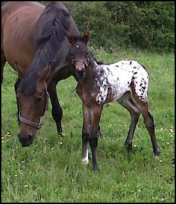 Knabstrupper filly by Pinocchio Middelsom